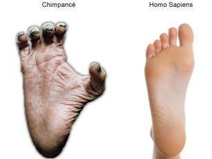 dedo gordo chimpancé homo sapiens