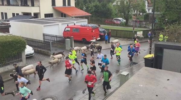 Ovejas, vacas y burros, inesperados participantes de una carrera en Munich